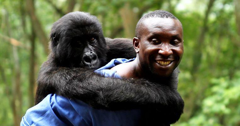 Parkwachter met jonge berggorilla in Virunga. Beeld Virunga Movie