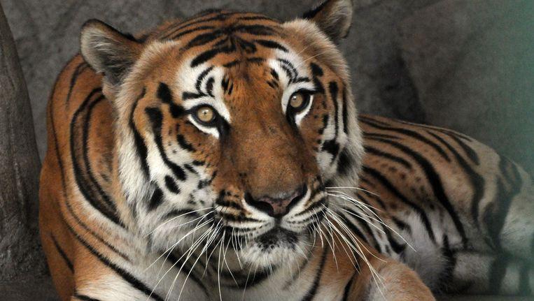 Een Bengaalse tijger Beeld ANP