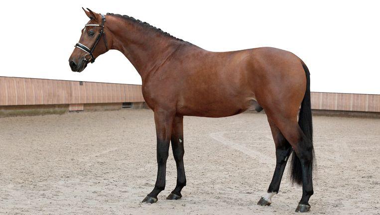 'Veilingfoto' van Handsome O. waarin de kwaliteiten van het dure dressuurpaard zo goed mogelijk naar voren worden gebracht Beeld Jacob Melissen