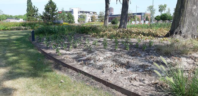 Door de droogte overleven niet alle nieuwe planten in het Burgemeester Geukerspark in Helmond.