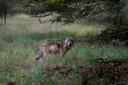 Heeft een wolf zich in Kranenburg gesetteld?