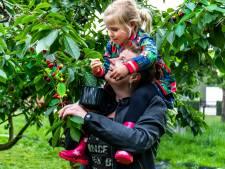 Kersenplukken op de boerderij trekt veel publiek naar Bunnik