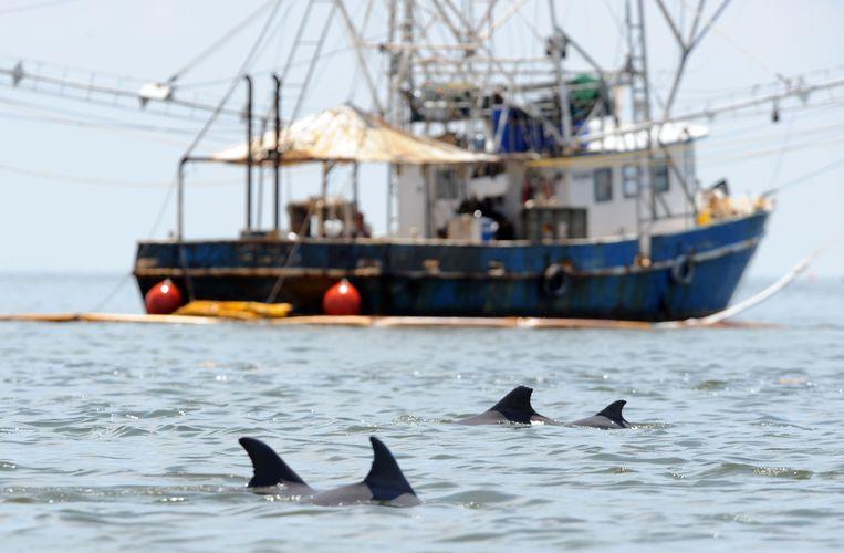 Dolfijnen En Zeehonden Worden Vaak Gevangen Om Als Aas Te Dienen