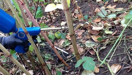 Injecteren van de stengels van de Japanse duizendknoop met glyfosaat (gif) lijkt vooralsnog de beste methode om deze woekerende exoot te bestrijden.