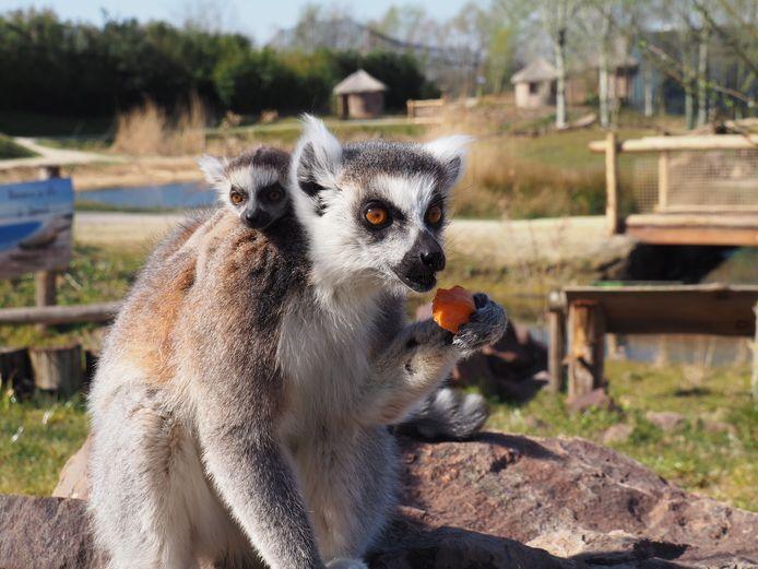 Jonge ringstaartmaki op de rug van zijn moeder.