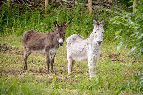 Ezels Raf en Hector grazen in de Smoorbeekvallei.