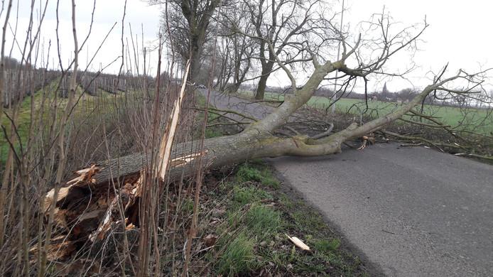 De omgevallen boom bij de Sluissewal in Altforst.