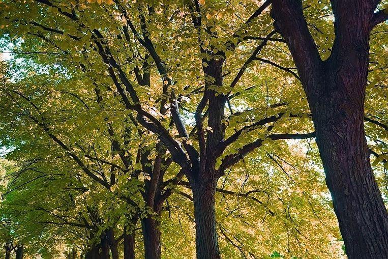 Lindebomen Beeld
