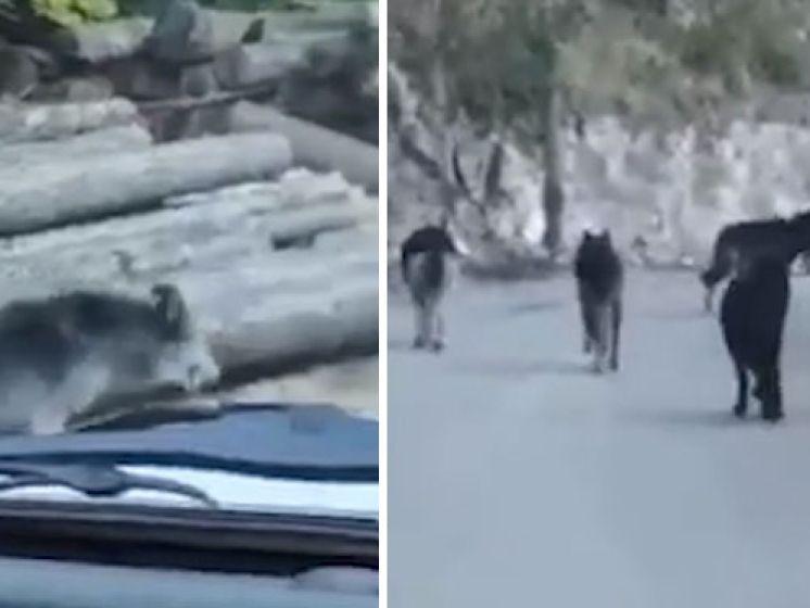Un automobiliste se retrouve au milieu d'une meute de loups en France