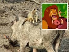 Fotograaf spot innig samenzijn 'Timon en Pumbaa' in Ouwehands Dierenpark