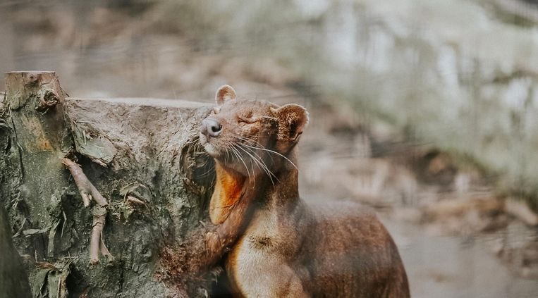 Een fossa, een katachtig roofdier uit Madagaskar.