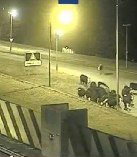 Ontsnapte kudde koeien wandelt over de A2 bij Vianen