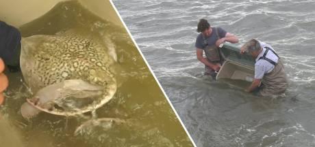 Stekelrogonderzoek biedt hoop voor verdwenen 'reuzenmanta' van de Noordzee