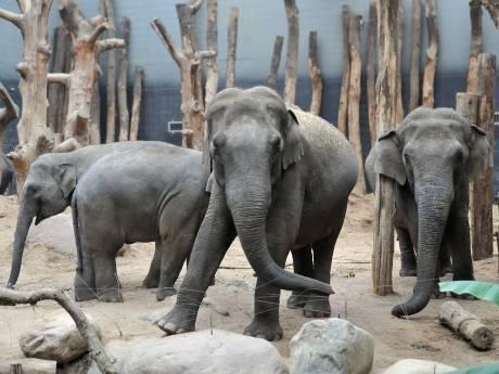 Raadsels rond het jong van olifant Indra: ís ze eigenlijk wel zwanger?