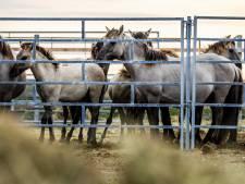 Nieuwe groep konikpaarden onderweg naar Wit-Rusland