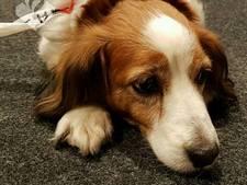 Hond loopt verdwaald door Eindhoven, politie zoekt eigenaar