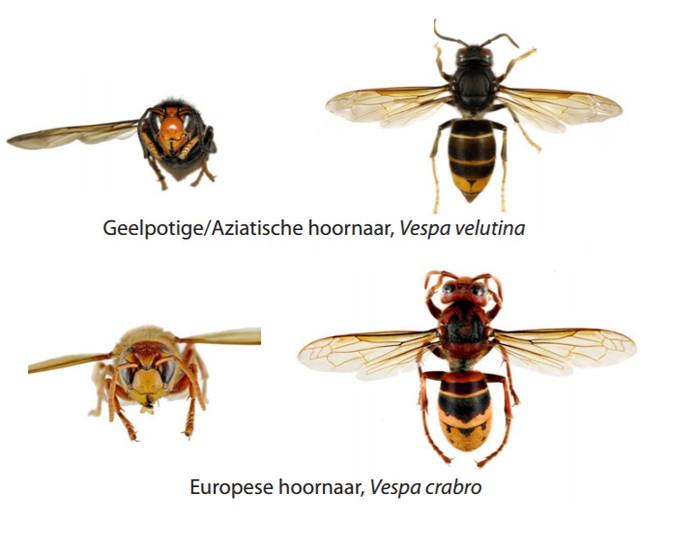 Het verschil tussen de twee hoornaars.