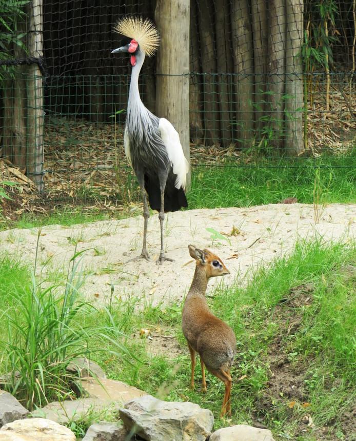Grijze kraanvogel met een van de dik-diks.