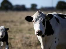 Les jours d'un cyclomotoriste en danger après un collision avec une vache près d'Andenne