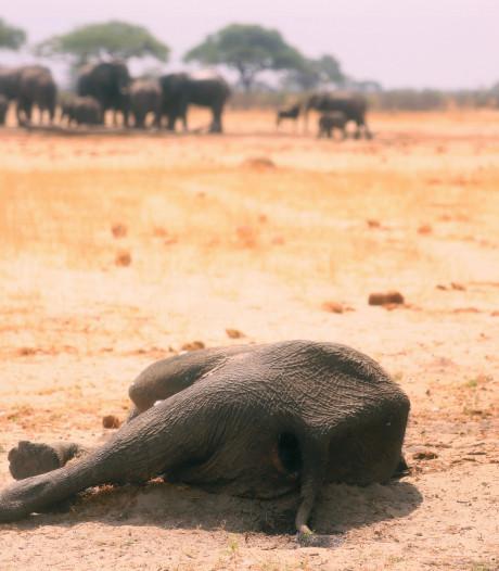 Meer dan tweehonderd olifanten gestorven in Zimbabwe door droogte