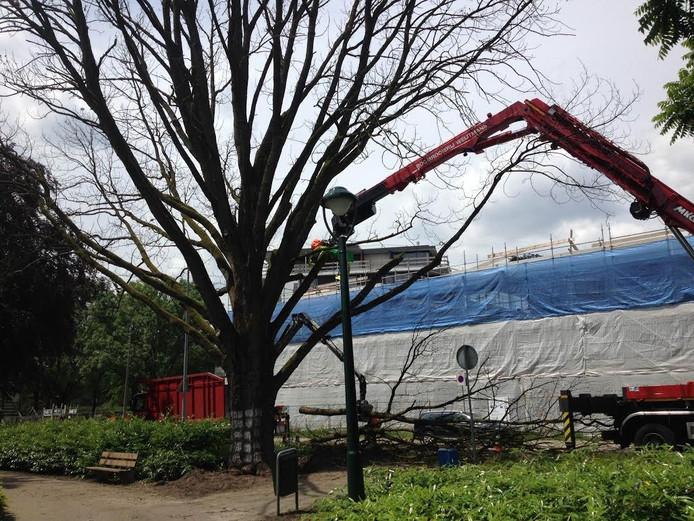 De Hongaarse eik wordt gerooid in het Stadswandelpark