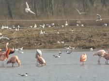 Meer flamingo's dan ooit in Zwillbrocker Venn
