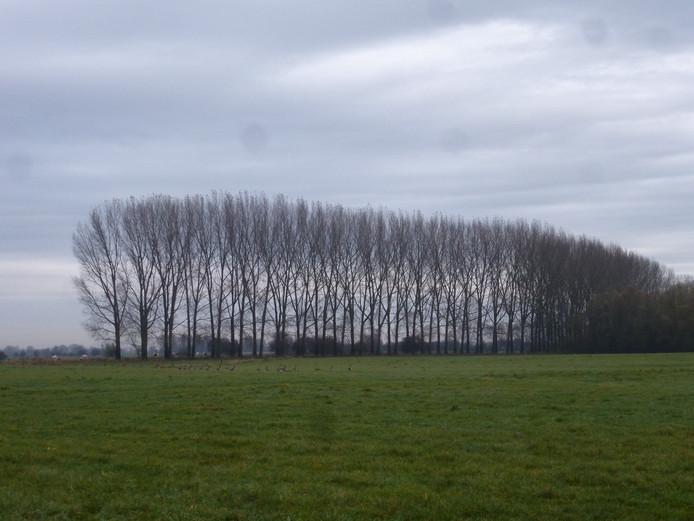 De 85 bomen langs het gedeelte van de Gemeenteweg.