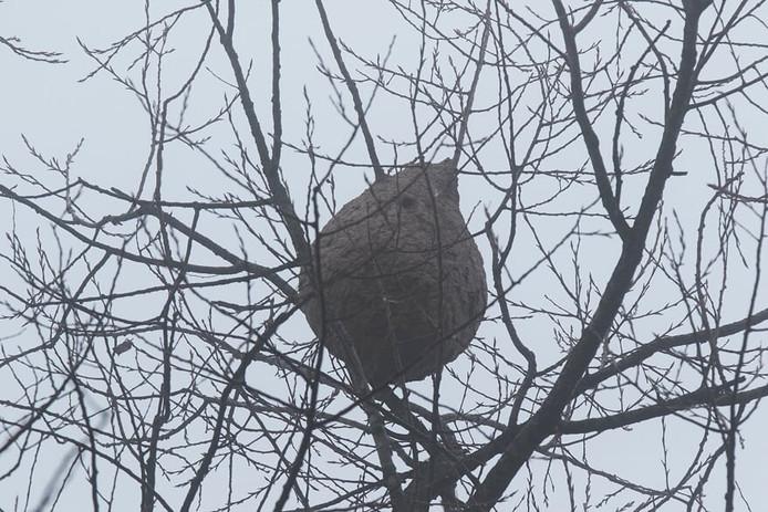 Le nid de frelons asiatiques détruit par les pompiers à Uccle ce jeudi 16 janvier.