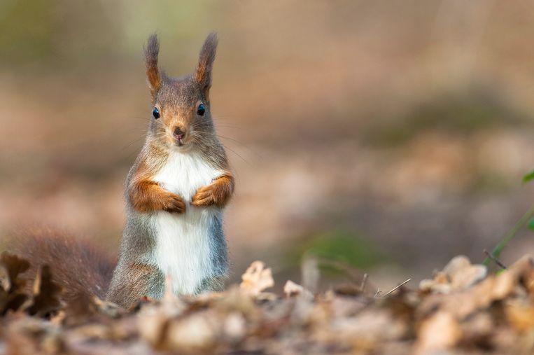 Een schattige eekhoorn.