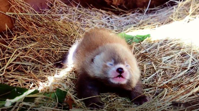 Bijzondere rode panda geboren in Safaripark Beekse Bergen.