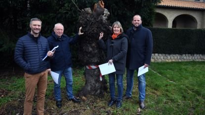 Gemeentebestuur Lubbeek kapt zieke bomen