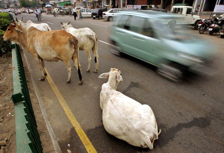Runderen in een drukke straat in de Indiase hoofdstad New Delhi.  Koeien worden in het hindoeïsme aanzien als heilige dieren.