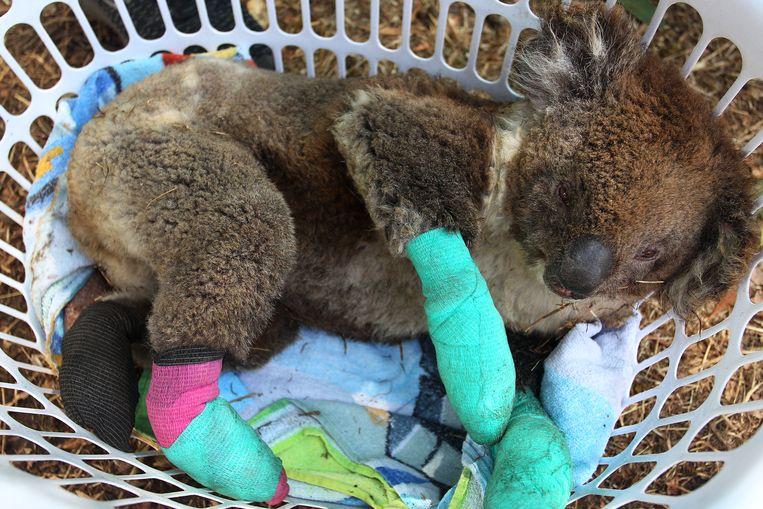 Een gewonde koala op Kangaroo Island komt bij in een wasmand.