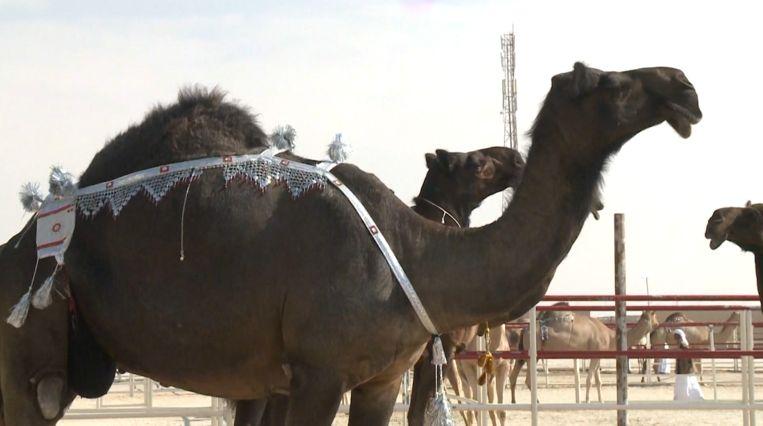 De kamelen in de wedstrijd worden ingedeeld in twee groepen: de Assayel kamelen en de Majahim kamelen.