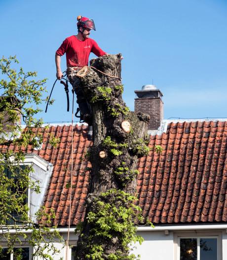 Kastanjeboom van 80 jaar tegen de vlakte