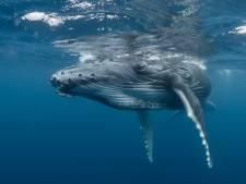 Bonne nouvelle pour les baleines à bosses, en voie d'extinction