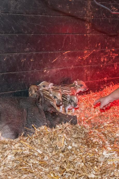 Hitsig hangbuikzwijn ontsnapt bij kinderboerderij Beekbergen: plotseling vijf 'wilde' biggetjes