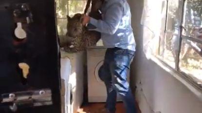 Schoonmaakster vindt luipaard achter wasmachine