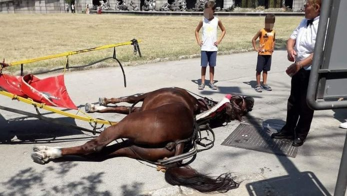 Le cheval est mort d'épuisement alors qu'il tirait des touristes sous un soleil de plomb et une température dépassant allègrement les 30 degrés.