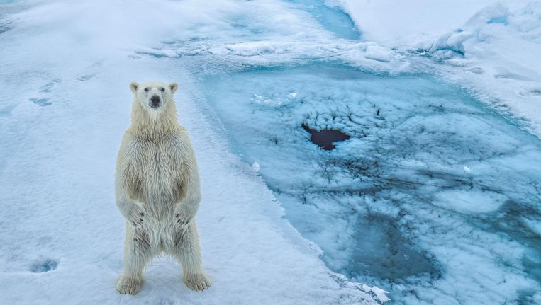 Een ijsbeer op Spitsbergen, waar managers van onder meer ING, Schiphol en de Gasunie de gevolgen van de opwarming van de aarde kwamen bekijken. Beeld getty