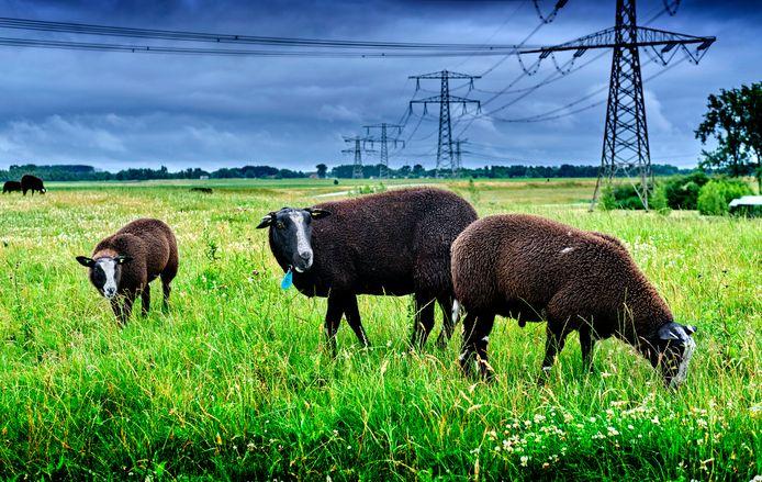 De kudde schapen op de Wantijdijk in Dordrecht werd vorige week door vier tieners aangevallen met flessen. ,,Ik heb ze allemaal gecontroleerd, maar geen van hen was gewond'', zegt de eigenaar van de dieren.
