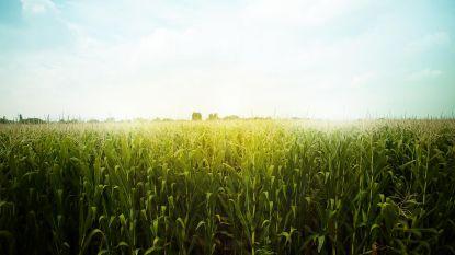 Dicht bij maïs wonen, kan uw gezondheid schaden