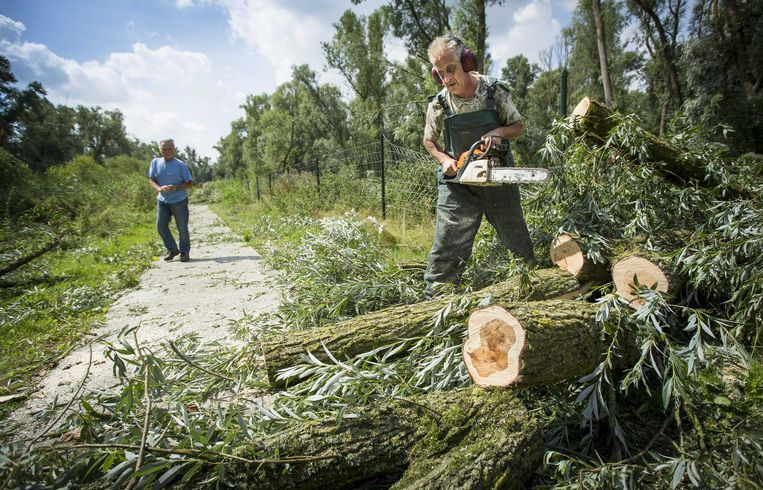 Vrijwilligers ruimen bomen op, op de Oostvaardersplassen.  Beeld ANP