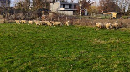 53 verwaarloosde schapen in beslag genomen