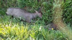 Dode reegeit en fazant gedumpt in gracht: stropers actief in Geelstervallei?