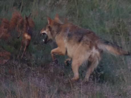 Wolf grijpt reekalf voor oog van Benny uit Epe: 'Zoiets moois zie ik waarschijnlijk nooit meer'