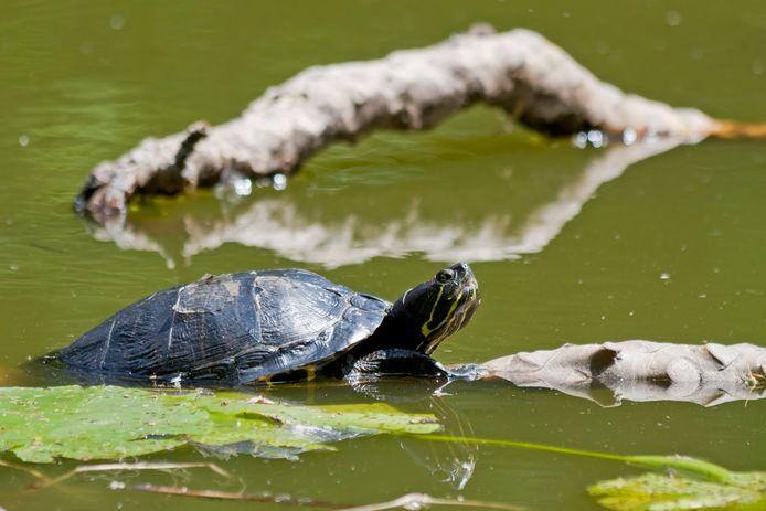 In de Gravenallee vijver in het park van Huize Almelo leven zeven tot acht geelwang schildpadden die er ooit zijn gedumpt.