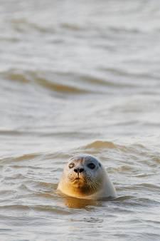Het gaat prima met de zeehondenpopulatie in de Waddenzee