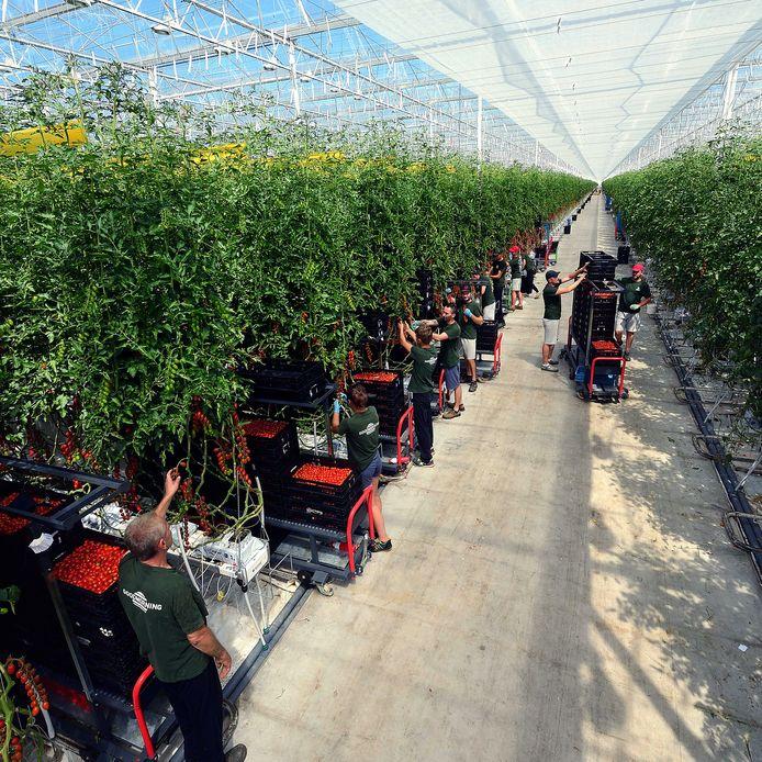 Arbeidsmigranten aan het werk in de tomatenkas van Redstar in Dinteloord.