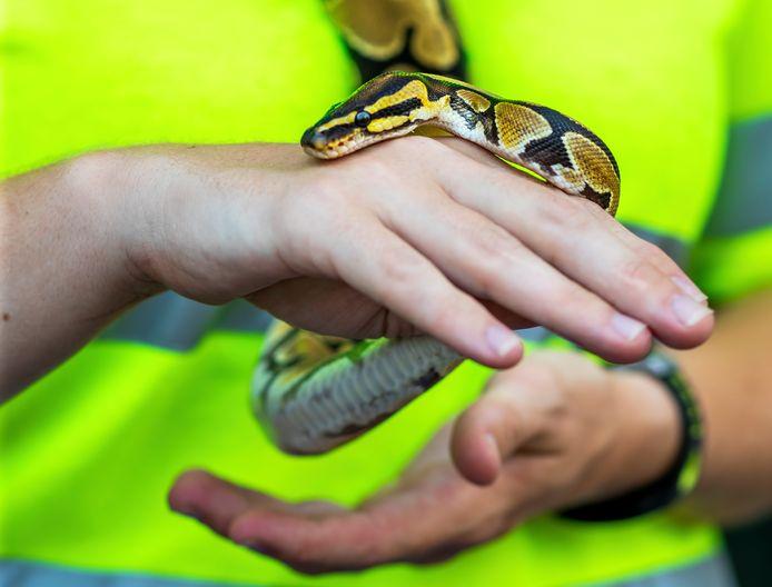 De ontsnapte python in de handen van Ilona van der Ende, medewerkster dierenambulance